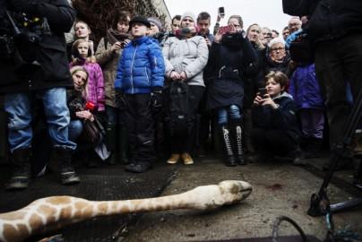 """Danimarca, la sfortuna di chiamarsi """"Marius"""": un'altra giraffa con lo stesso nome sta per essere abbattuta"""