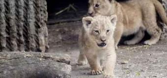 Zoo di Copenaghen, dopo l'atroce esecuzione della giraffa Marius ora pena di morte per 4 leoni, due adulti e due cuccioli in perfetta salute