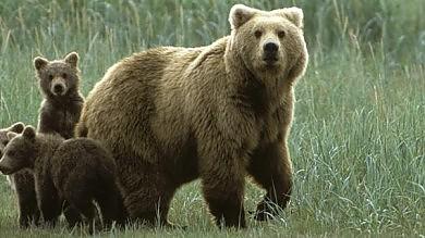 """Trento, caccia all'orsa Danzica e si scatena il web: """"Lasciatela in pace ha solo difeso i suoi cuccioli"""". Dimesso il cercatore di funghi ferito dall'animale"""
