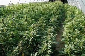 Cure alternative, arriva la 'Marijuana di Stato'. Sarà prodotta dall'Esercito Italiano e sarà per scopi terapeutici
