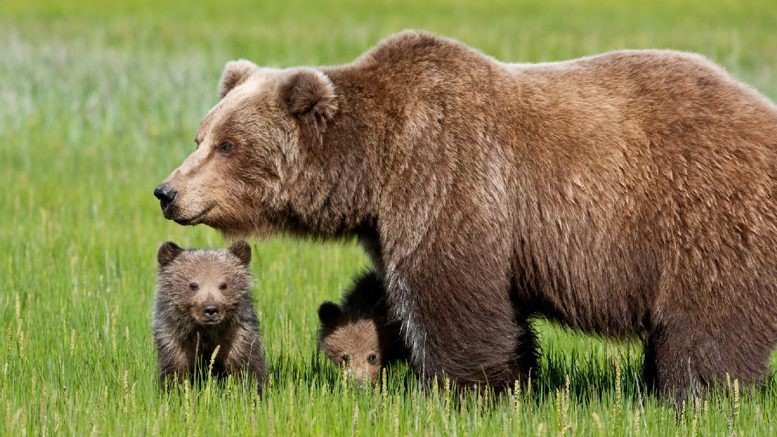 """Trento, morta l'orsa Daniza durante le operazioni di cattura. Lav denuncia: """"Esecuzione annunciata, responsabili paghino"""""""